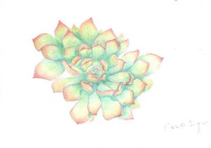 Succulent pencil drawing