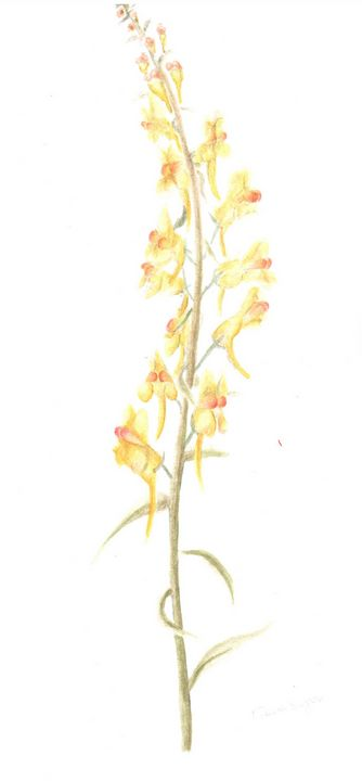 Yellow Toadflax Watercolour Painting - Fiona Singer