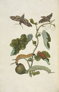 [Branch of a fig tree (Ficus carica)