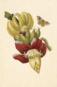 [Banana tree flower (Musa paradisiac