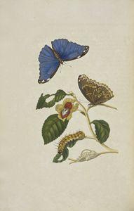 [Blue morpho butterfly (Morpho menel