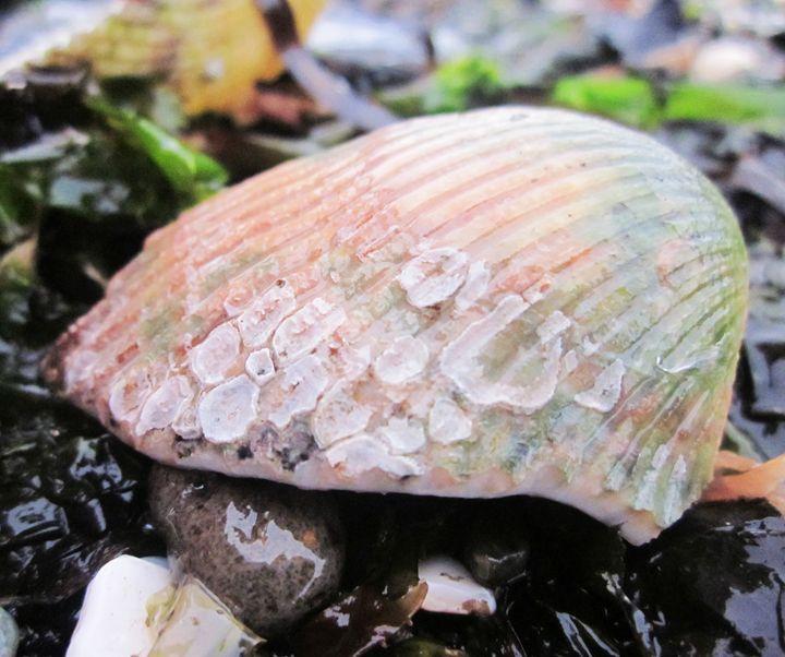 Seashell - Jesse Sandoz Photography