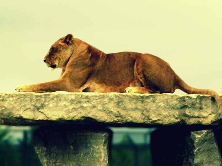 Lioness - JGoodrell