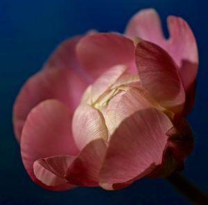 Just born Pink Ranunculus