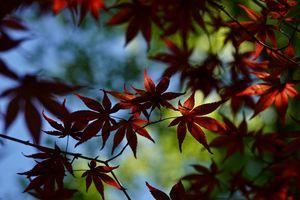 Maple Farandole