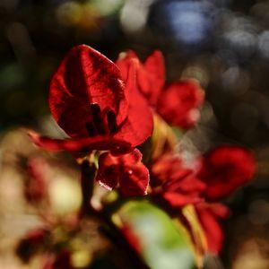 Bougainvillea in red