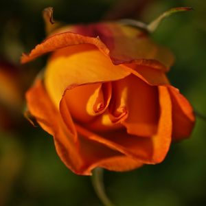 Cocooning Roses