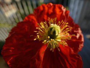 Urban Orange Poppy