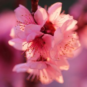 Dear Peach Tree