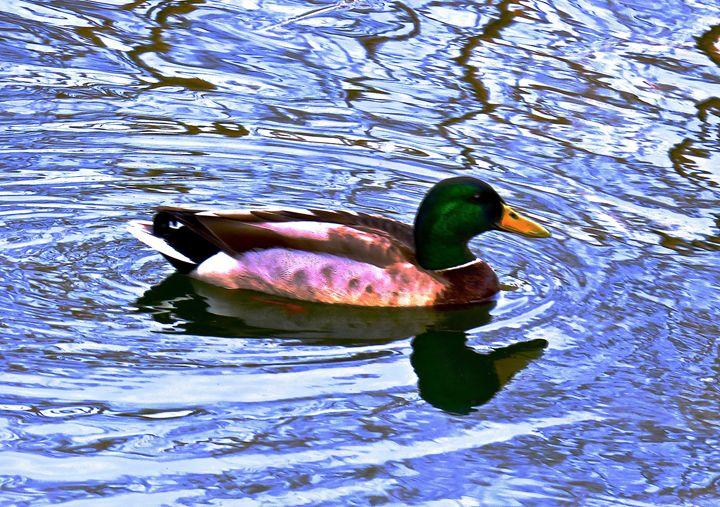 Central Park 3 Duck in Turtle Pond 1 - Ken Lerner Fine Art Photography