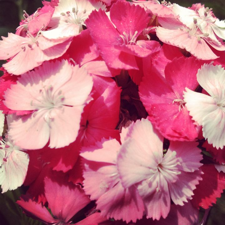 Dianthus - docdiggle
