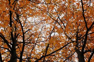 The Orange Leaves _Nyssa Sylvatica