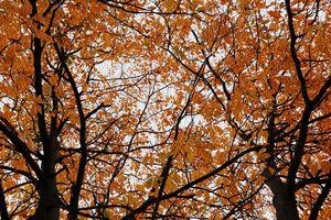 The Orange Leaves _Nyssa Sylvatica