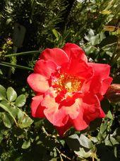Rose Semper