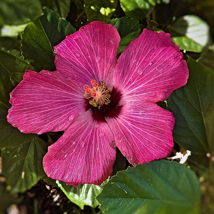 Flowering Hibiscus - Auterys Art