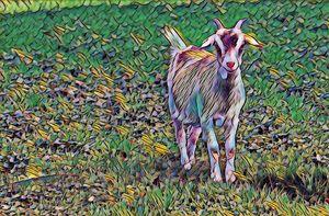 Domestic Baby Goat