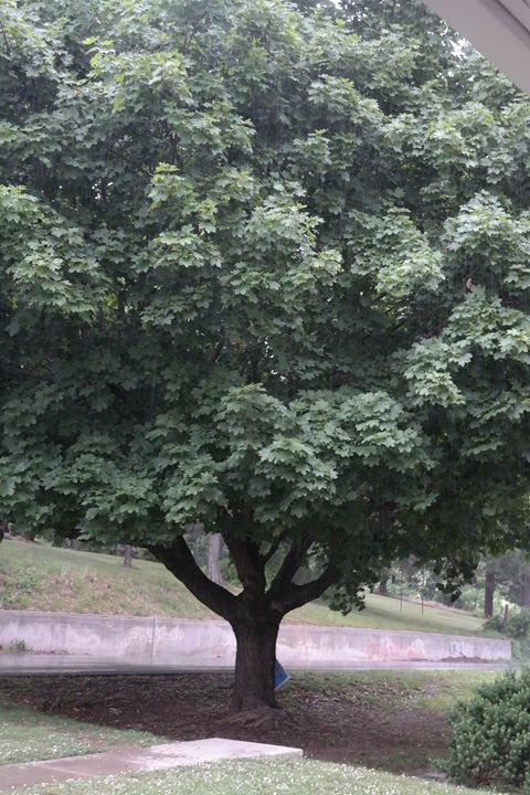 Tree - Virginia LaRue