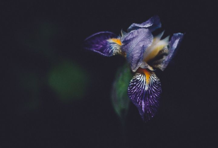Surprise Iris - Shauni Mulder