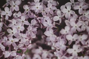 Lilacs Up Close