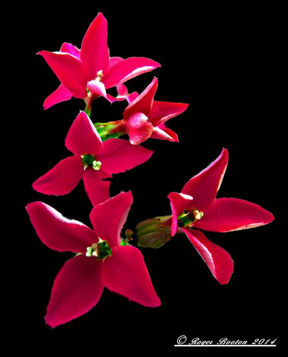 Flower on Black Background - Rogers Art Shop