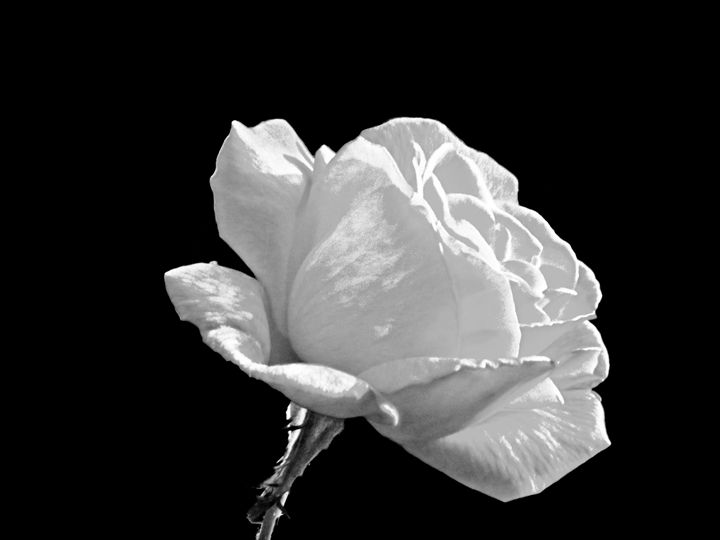 A Rose is a Rose - Rogers Art Shop