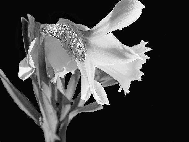 Daffodil - Rogers Art Shop
