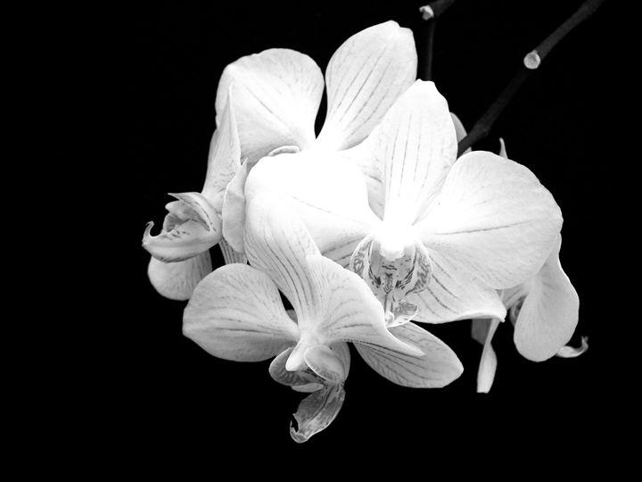 Phaleonopsis 3 - Rogers Art Shop
