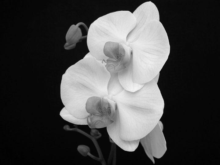 Phaleonopsis 2 - Rogers Art Shop