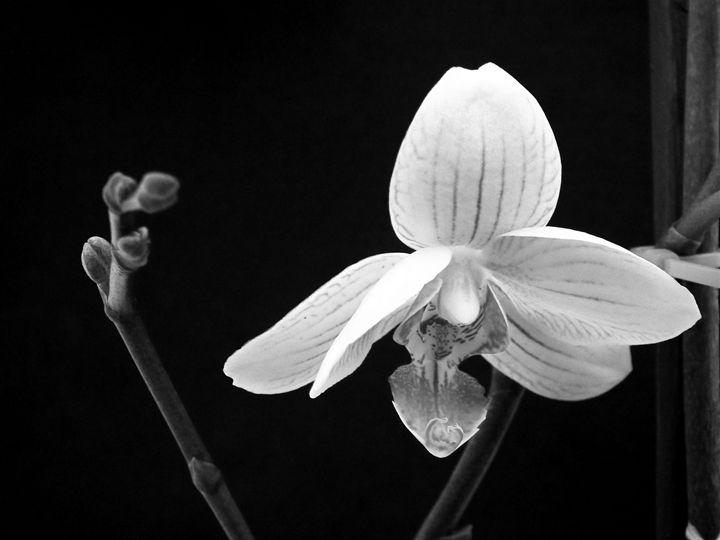 Phaleonopsis 1 - Rogers Art Shop