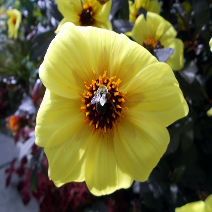 Bumble Bee on a Flower - Leigh's Gallery