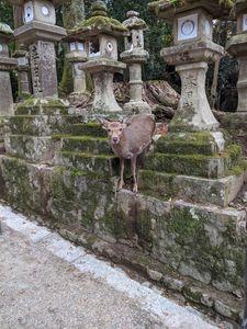 Nara park deer