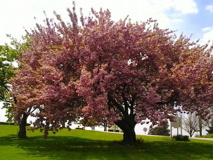 Cherry Blossom - Photos