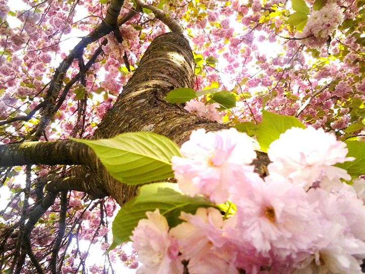 Cherry Blossom Flowers - Photos