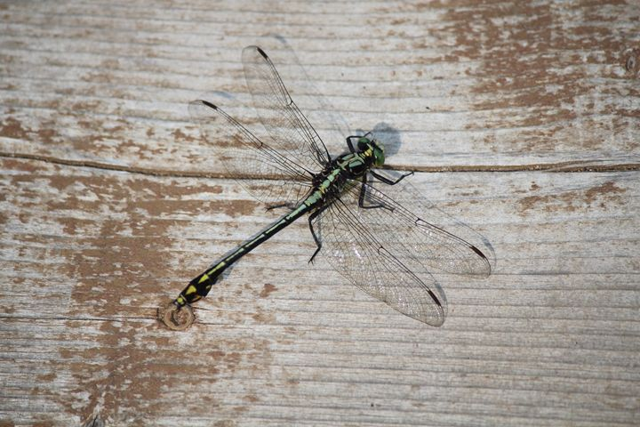 Dragonfly - Beauty of Nature