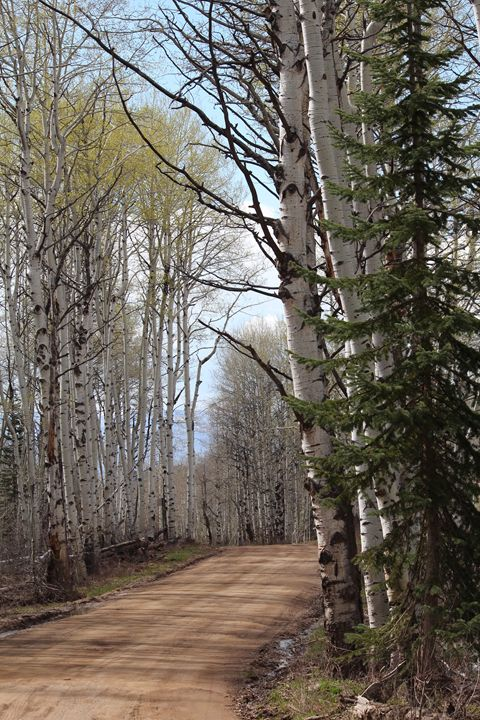 Birch Walk - Beauty of Nature