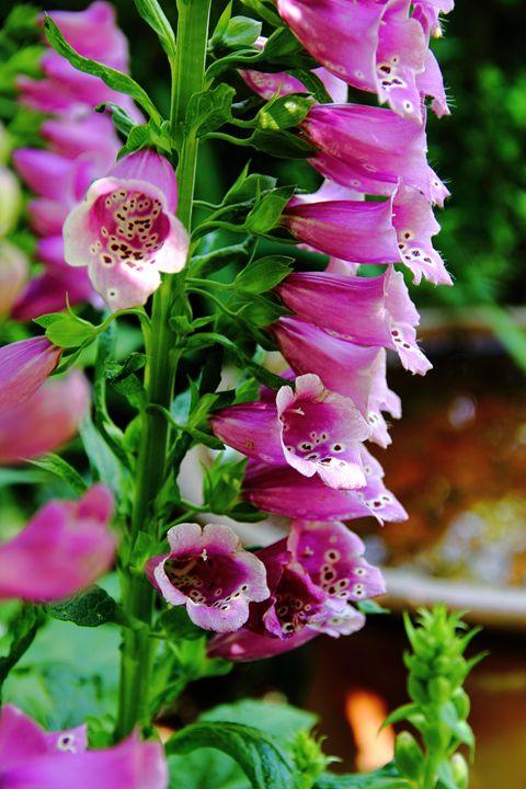 Foxglove Delight - NiceWebb Photography