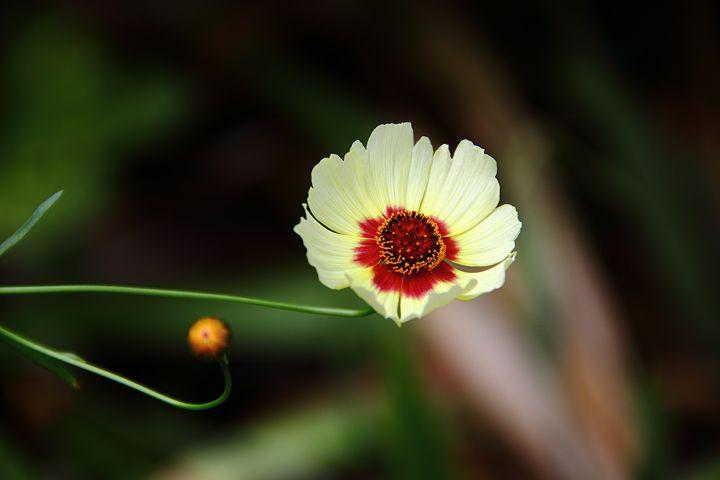 Coreopsis - NiceWebb Photography
