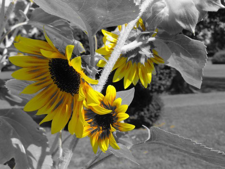 Sunflower 1st plan - LaMa