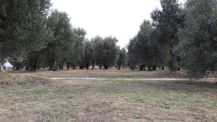 Olive tree's time - LaMa