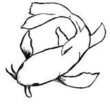 Koi Fish Black Sketch