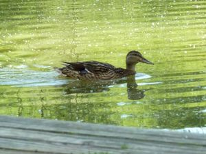 Wiltshire Duck