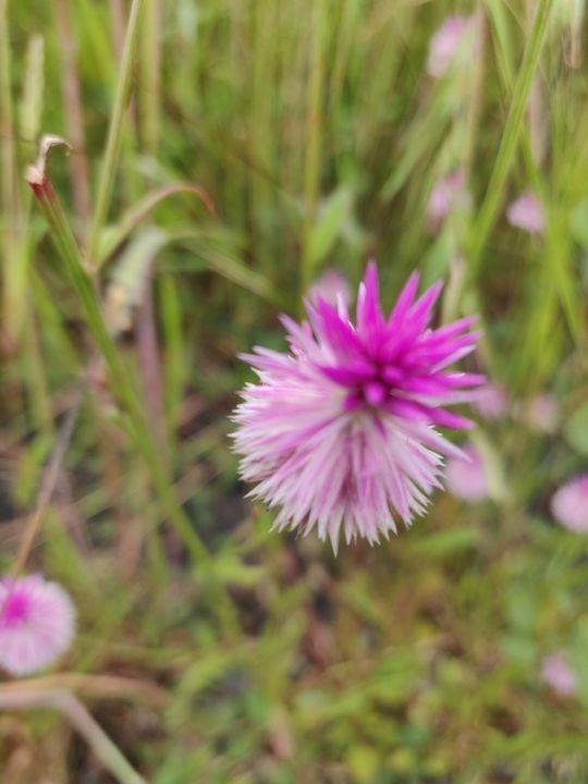 Pink wild flower - Manju