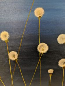 Dark Blue Dandelions Going To Seed!