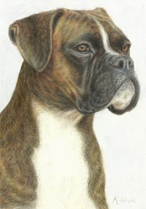 Boxer (Brindle