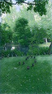Ducks in a country garden