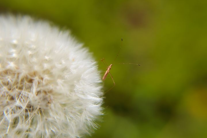 Dandelion bug - Sydni art and photography