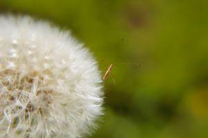 Dandelion bug