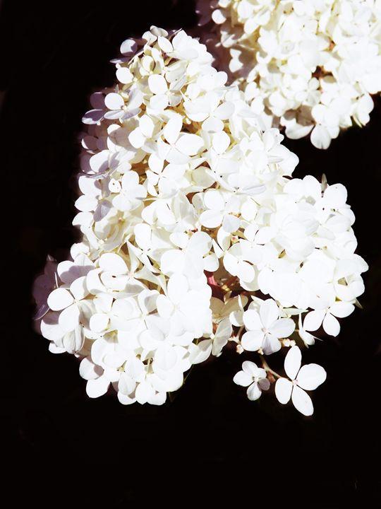 HYDRANGEA - PHOTOGRAPHY