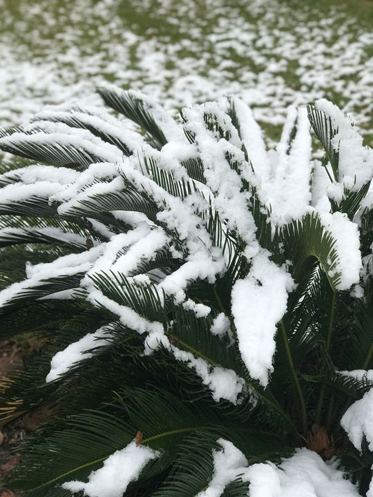 Snow Palms - mindofhendrix