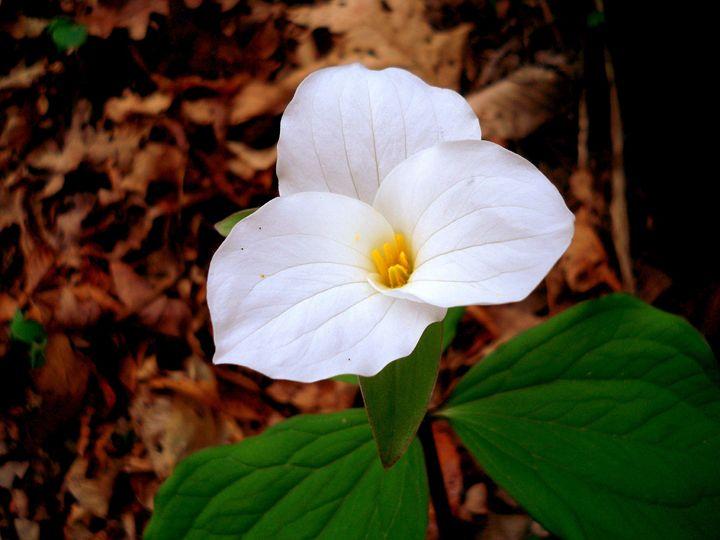 Mountain Flower - Paul Lubaczewski